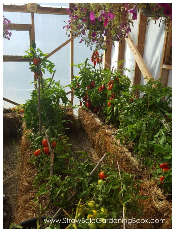 Straw Bale Garden In A Greenhouse.