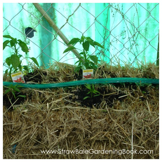 Chilli Peppers Growing In Straw Bales...