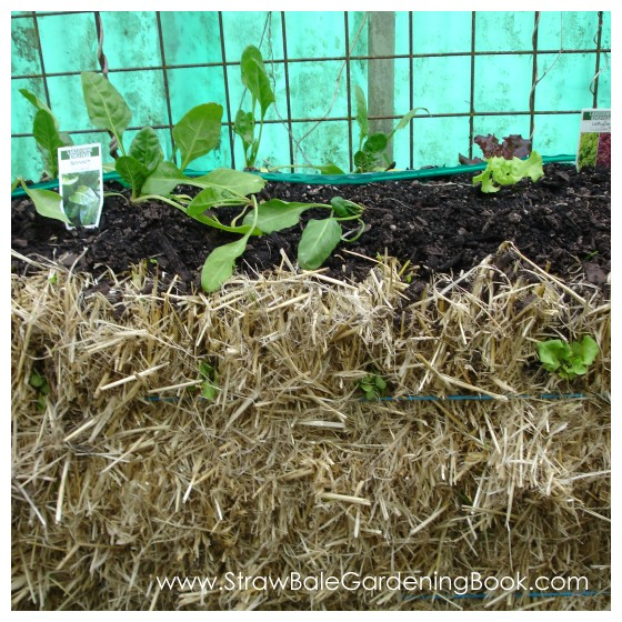 Lettuce & Spinach Growing In A Straw Bale...