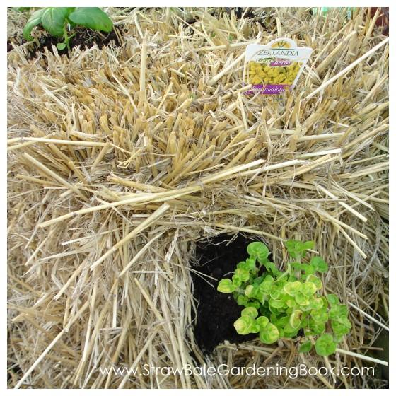 Golden Marjoram Growing In A Straw Bale...