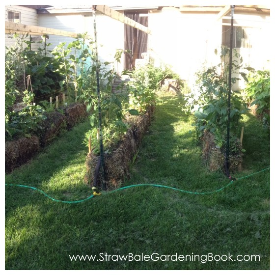 10 Foot Tomato Plants Growing In Straw Bales...