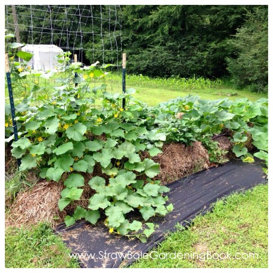 Straw Bale Garden Setup On A Lawn & Placed On Weed Mat...