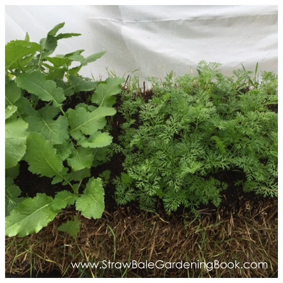 Straw Bale Garden Planted & Covered With A Poly Tunnel...