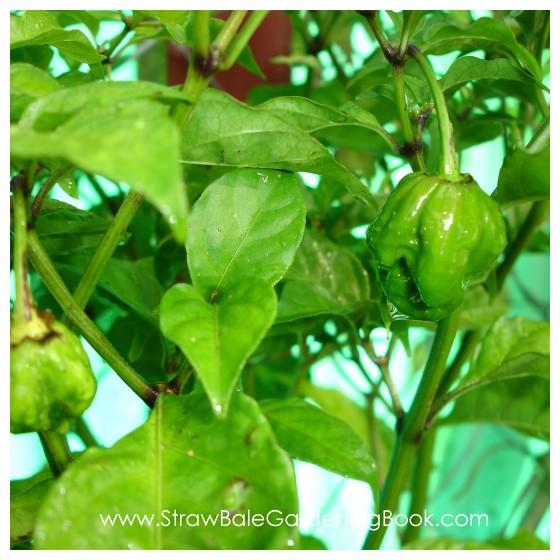 Straw Bale Garden Update 6 Months....